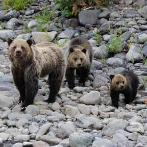 yellowstone lodging bears