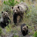 yellowstone lodging wildlife